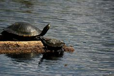 Turtles Homosassa Springs Wildlife State Park, Florida