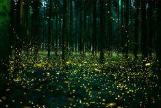 Fireflies in Japan, 2016. Photo © miyu: http://photohito.com/photo/5759332/