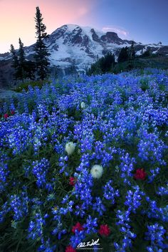 """Tahoma - ++check it out in full screen++  Check me out on <a href=""""https://www.facebook.com/ChrisWilliamsExplorationPhotography"""">Facebook</a>!    Check out my new <a href=""""http://cwexplorationphotography.com/"""">Website</a>!  The wildflowers have since died out but here's one more shot from earlier this summer.  I think I probably waited 40 minutes maybe longer for that cloud to hover over Gibralter Rock haha.  Any who hope you enjoy this one!  Paradise, Mt. Rainier, WA  Prints…"""