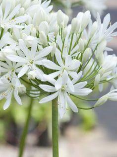Agapanthus blanc /'Albus/' vivace 100 mm pot plantes pack spéciale x3