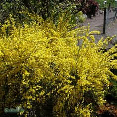 Vårginst, gul