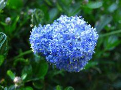 Ceanothus aka California lilac.