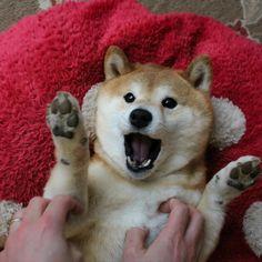 PsBattle: Tickling a Shiba Inu : photoshopbattles