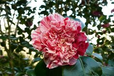 1000 Images About CAMELLIAS On Pinterest