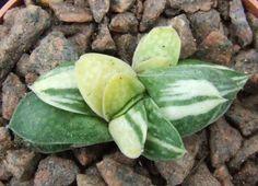 15420e15b5bfb49af518b2cf8334da47--cacti-seeds.jpg (736×532)