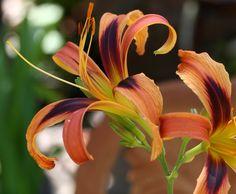 (Tigereye Spider x Blue Moon Rising) from Garden Fantasies Designer Daylilies in Portland, OR