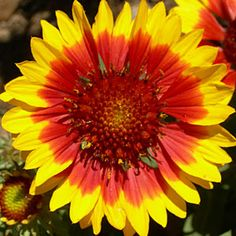 Galliardia x grandiflora