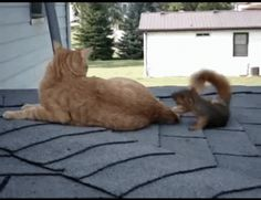 Squirrel and cat playing • video: Hmeskens on YouTube • full video: https://www.youtube.co m/watch?v=EWFXttBlSJI&index=1&list=FLbZHfkrc-hKPPPqrjJURuMg めっちゃ度胸の良いリス