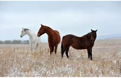 """""""The green grass is where"""". Amazing horses south of Calgary foraging for food after a snow storm, 2012."""