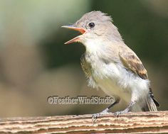Songbird Photography  Eastern Phoebe  Brown by FeatherWindStudio