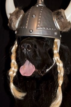 AKCHalloween Notta Bear Newfoundlands Inka the viking! Silly Dogs, Big Dogs, Funny Dogs, Cute Dogs, Dogs And Puppies, Doggies, Dog Photos, Dog Pictures, Cute Dog Halloween Costumes