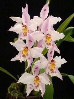 Odontoglossum crispum, by Quimbaya, via Flickr