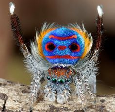 The Book of Barely Imagined Beings by Caspar Henderson... because there are creatures that look like this in our world! Maratus volans, the Peacock spider.