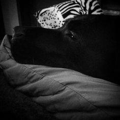 #labrador #dog #cute #black