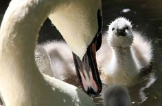 Wonderful Swan mom and her little swanling !!