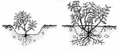 Зимовка фуксий в открытом грунте