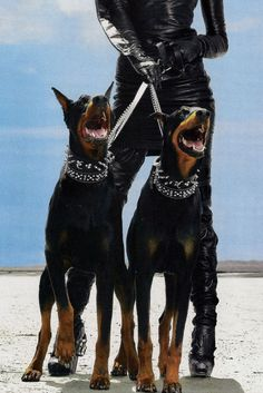 The Classy Issue Doberman Puppies, Doberman Love, Doberman Pinscher Dog, Canis Lupus, Scary Dogs, Images Esthétiques, Weimaraner, Beautiful Dogs, Rottweiler