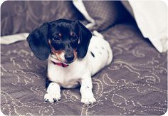 Roxie Girl | Miniature Dachshund Mini Dachshund, Roxy, Sausage, Miniatures, Puppies, Sweet, Pictures, Animals, Photos