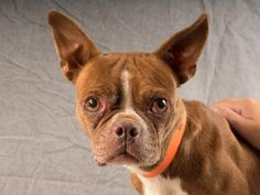 Adopt Karma, a lovely 4 years  6 months Dog available for adoption at Petango.com.  Karma is a Terrier, Boston and is available at the National Mill Dog Rescue in Colorado Springs, Co. www.milldogrescue... #adoptdontshop #puppymilldog #rescue #adoptyourfriendtoday