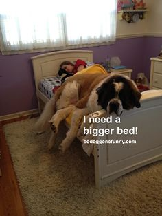 Saint Bernard needs a bigger bed | big funny dog
