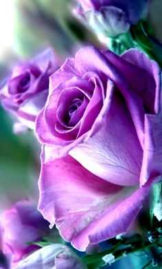 Sweet Purple Roses