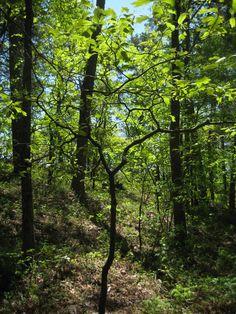 Woods in Arkansas
