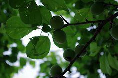 梅の実 ほたる - Google 検索