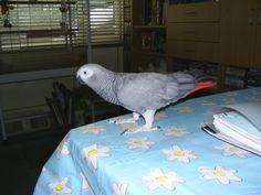 African Grey Parrot as Pet. African Grey Parrot, Bird, Pets, Animals, Parrot Bird, Animales, Animaux, Birds, Animal