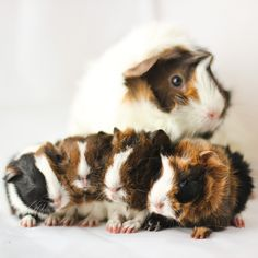 Guinea pig babies by astakatrin