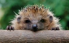 Over 30 pictures of Baby Hedgehogs. Check out this article for the cutest collection of Baby Hedgehog Pictures you could find! Baby Animals, Funny Animals, Cute Animals, Beautiful Creatures, Animals Beautiful, Cute Hedgehog, Hedgehog Diet, Hedgehog Facts, Pygmy Hedgehog