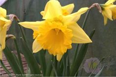 Narcissus January
