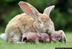 Big Eared Bunny and little Piglets