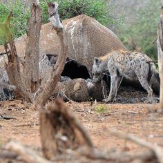Circle of life... #elephant #hyena #southafrica #krugerpark #wildlife #photography #wildlifephotography #retosutterphotography RetoPhotography.com