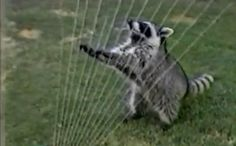 Daily Cute: Raccoon Plays Sprinkler Harp--YOU'VE GOT TO SEE THIS!