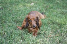 Lost Dog - Dachshund-Miniature  - Cataula, GA, United States 31804