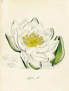 Burnett Fruit and Botanical Prints 1852