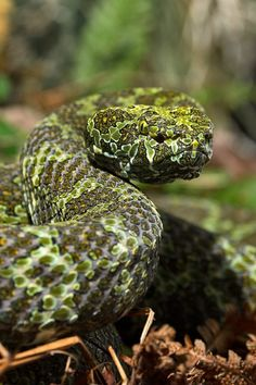 Mang Mountain Pit Viper - Leif G.Westrin
