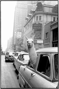 A Llama in Times Square. New York. - Inge Morath – Magnum Photos ~ we often take our llama on a road trip . Black And White Photo Wall, Black And White Posters, Black N White, Black And White Pictures, Black And White Photography, New York Black And White, Grey Pictures, Black And White Background, Wall Pictures
