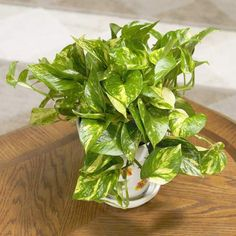Choosing houseplants most popular house plants uk project. Leafy Plants, Ivy Plants, Foliage Plants, Cool Plants, Indoor Plants, Golden Pothos Plant, Popular House Plants, Online Plant Nursery, Oriental