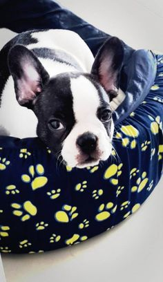 Tyson, the French Bulldog Puppy from Colombia, The Daily Frenchie