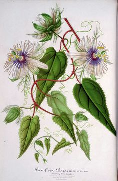 Wild Maracuja. Passiflora foetida. Bracts trap insects with a sticky substance…