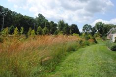 A natural area of mostly Indian-Grass that is along a retirement community with conventional landscaping in southeast PA in August of 2013.