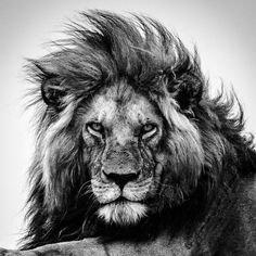 Black and white bestows on this lion the power and majesty he deserves. Lion Images, Lion Pictures, Beautiful Lion, Animals Beautiful, Lion Head Tattoos, Lion Back Tattoo, Lion Tattoo Sleeves, Lion Photography, Vogel Tattoo
