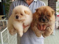 dos cachorros de  chow chow