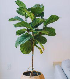 Op zoek naar een echte blikvanger in huis, dan is de vioolbladplant (Ficus lyrata) met zijn grote, vioolvormige blad zeker een goede keuze.