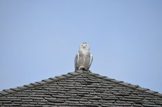 {Snowy Owl on patrol} in Cobourg, Ontario - not too far from where I live! Wish I'd see owls hanging out on rooftops :)
