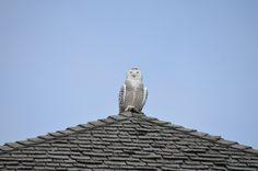 Snowy owl, on a rooptop in Ontario