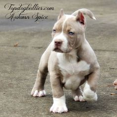 American Pit Bull Terrier information including pictures, training, behavior, and care of Pitbulls and dog breed mixes. They can be affectionate family dogs Amstaff Terrier, Bull Terrier Dog, I Love Dogs, Cute Dogs, Pit Puppies, Baby Animals, Cute Animals, Nanny Dog, Bully Dog