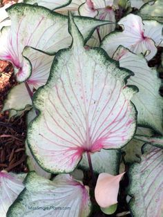 Need more Caladiums! Caladium 'Pearl Blush' from Bates Sons & Daughters new caladium varieties for the garden. Tropical bulbs are easy to grow! White plants for sun or shade. White Plants, Sun Plants, Foliage Plants, Exotic Plants, Indoor Plants, Garden Bulbs, Shade Garden, Garden Plants, House Plants