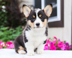 🎀💚Wanting to add some love and #Cuteness to your life? Amanda would be honored to join you and be that ray of sunshine🌞 that you are looking for. She is a cuddly and #Adorable #WelshCorgiPembroke! #Charming #PinterestPuppies #PuppiesOfPinterest #Puppy #Puppies #Pups #Pup #Funloving #Sweet #PuppyLove #Cute #Cuddly #Adorable #ForTheLoveOfADog #MansBestFriend #Animals #Dog #Pet #Pets #ChildrenFriendly #PuppyandChildren #ChildandPuppy #LancasterPuppies www.LancasterPuppies.com Pembroke Welsh Corgi Puppies, Lancaster Puppies, Animals Dog, Puppies For Sale, Mans Best Friend, Puppy Love, Amanda, Sunshine, Join